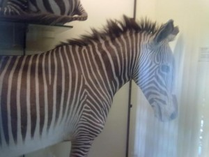 Another Zebra of a different sub species ?