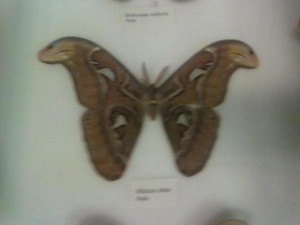 Butterfly in display case