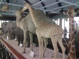 Giraffe, Camel and Rhino's on the centre display